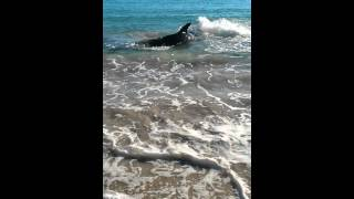 White Pointer Shark swims onto Coronation beach Geraldton, Western Australia