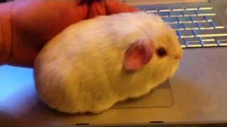 Морская Свинка Породы Английский Селф - YouTube