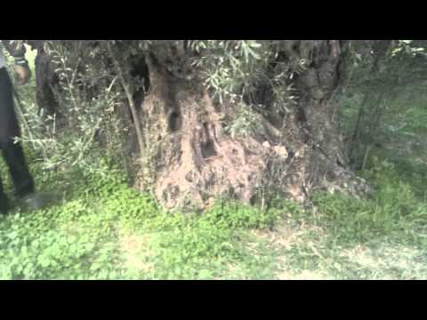 Αιωνόβια Ελιά του Γιατρομιχάλη στις Κάτω Ασίτες 04/11/2011