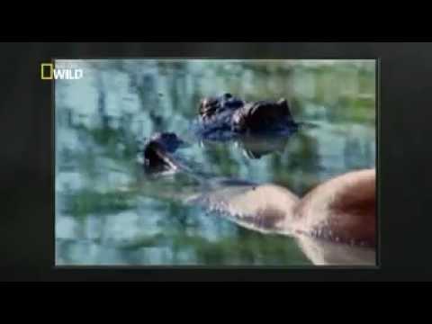 crocodilo mata e devora leão