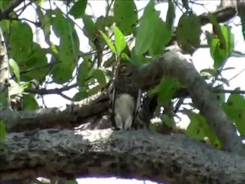 Female of Forest Owlet Athene blewitti Or Heteroglaux blewitti near Malur Jungle Melghat Rare Video