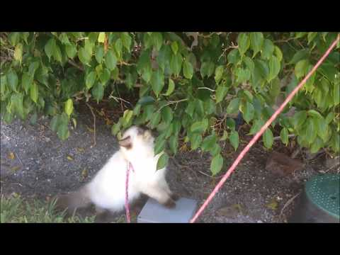 Walking my cat (Kyoki)