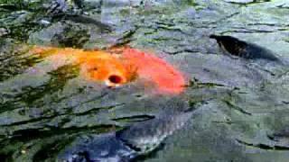 Beternak Ikan Mas
