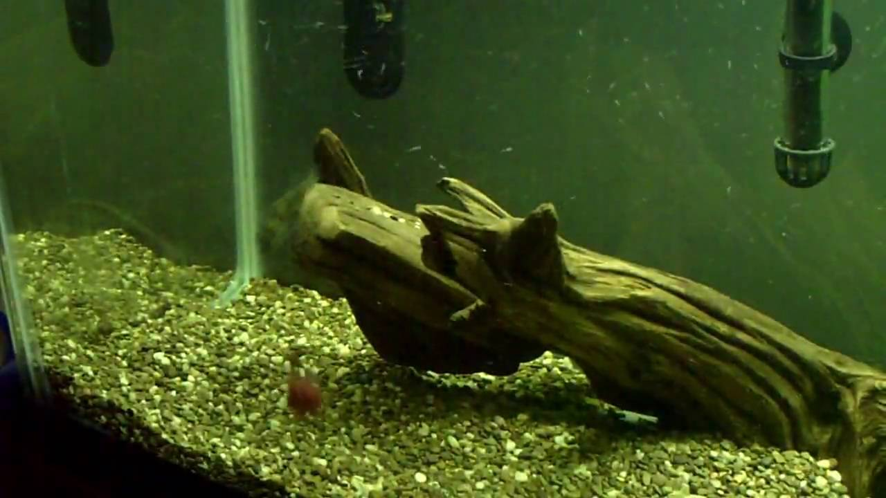 Amazon puffer feeding time colomesus asellus youtube for Amazon puffer fish
