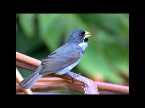 Canto para Encartar Coleiro - Tui Tui Zel Zel - Canto Clássico - Terceira Nota