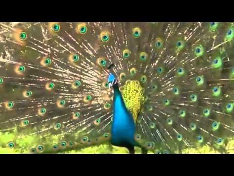 Chim công múa cực đẹp