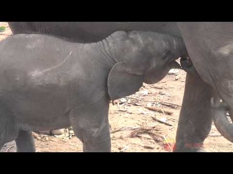 Cute baby elephant cries for mother's milk