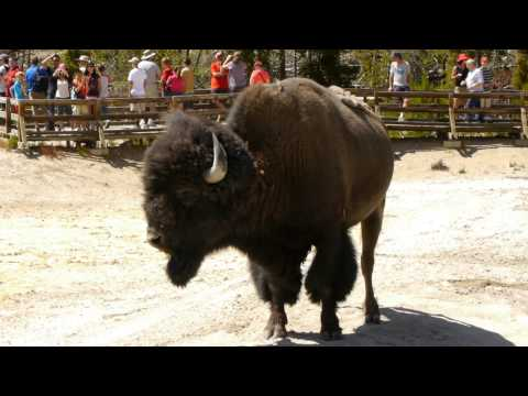 Yellowstone National Park - Bison in the Mud Volcano area