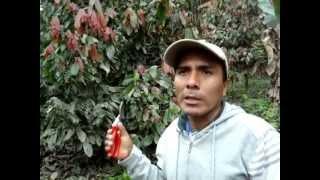 Cultivo de cacao en caranavi