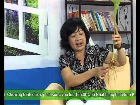 Cây thuốc Việt số 6 - cây nghệ vàng