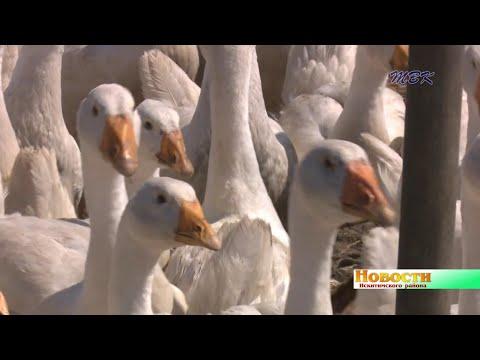 «Хочется попробовать что-то своё». Житель д. Шадрино начал разводить выносливую породу гусей