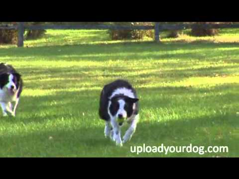 Amazing Beautiful Identical Twins Black White Dogs Playing Ball Running Back To First Base