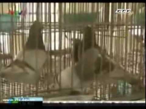 Dạy nghề nuôi chim bo cau pháp 68