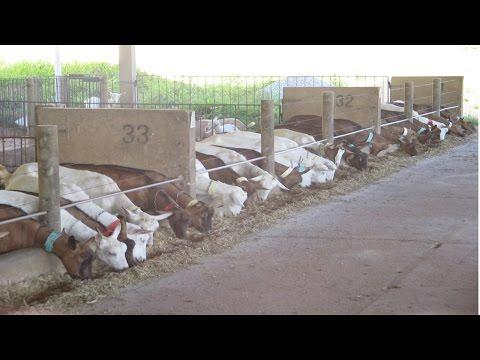 Curso Criação de Cabras Leiteiras - Instalações, Raças e Reprodução - Cursos CPT