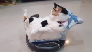 Cool cat riding a roomba in style