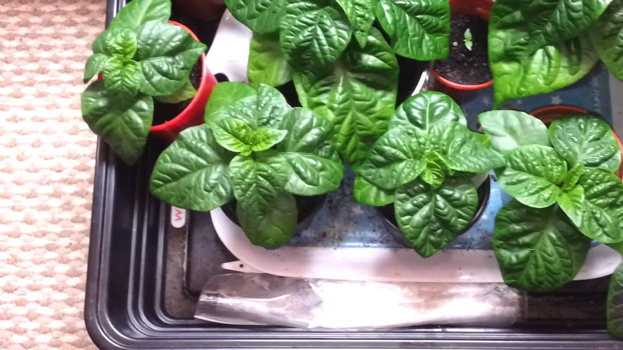 Carolina reaper and other super hot chilli peppers march ...