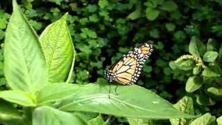 Lepidoptera view on youtube.com tube online.