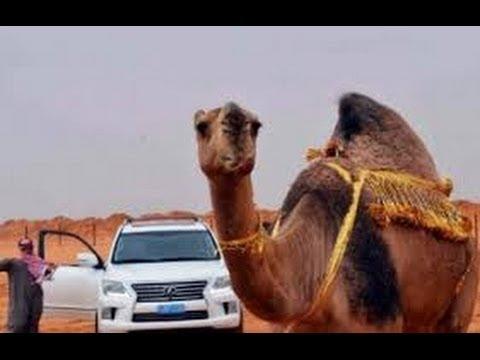 ناقة تحتضن صاحبها السعودي بعد أن باعها وغاب عنها لـ7 أشهر