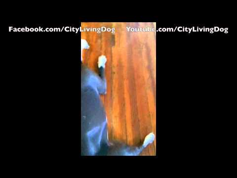 0 In Home Agility City Living Dog: Dogs with jobs and learning how to patiently wait