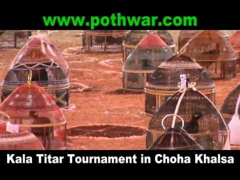 Kala Titar (Black Francolin) Tournament in Choha Khalsa
