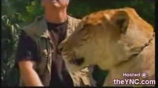 Liger Super Felino Cruzamento De Tigre Com Leão