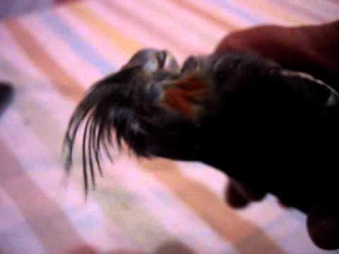 A morte do Leco (calopsita)