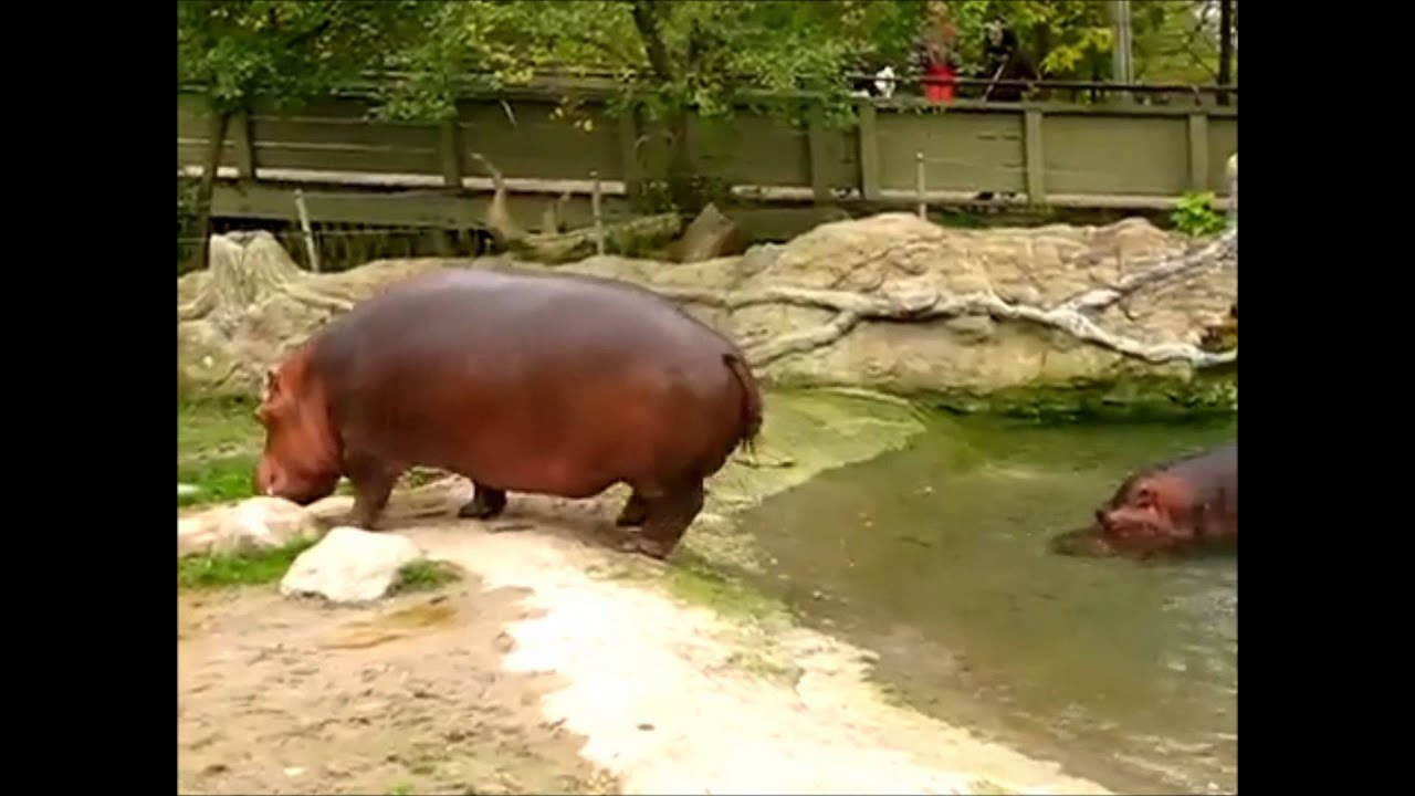 Hippo Explosive Diarrhea hippo gets explosive d...