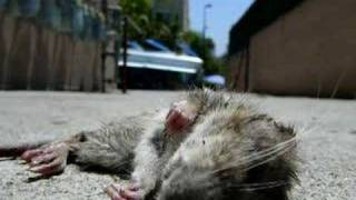 Dead Rat Filled With Maggots