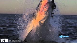 Slow Motion Shark Attack High Definition Shark Week