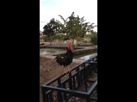 Jual Ayam Ketawa di bogor Asli import dari Sulsel 081238900