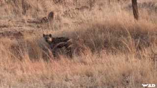 Exciting Hyena Hunt