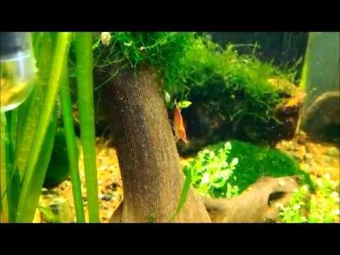 Freshwater Aquarium Shrimp Babies Moreover Pinterest Fish Tank Glass ...