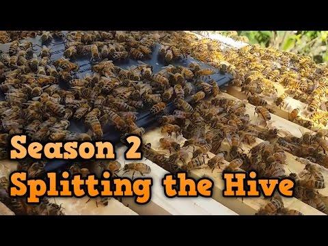 Beekeeping Season 2 - Week 1 - Splitting the Hive