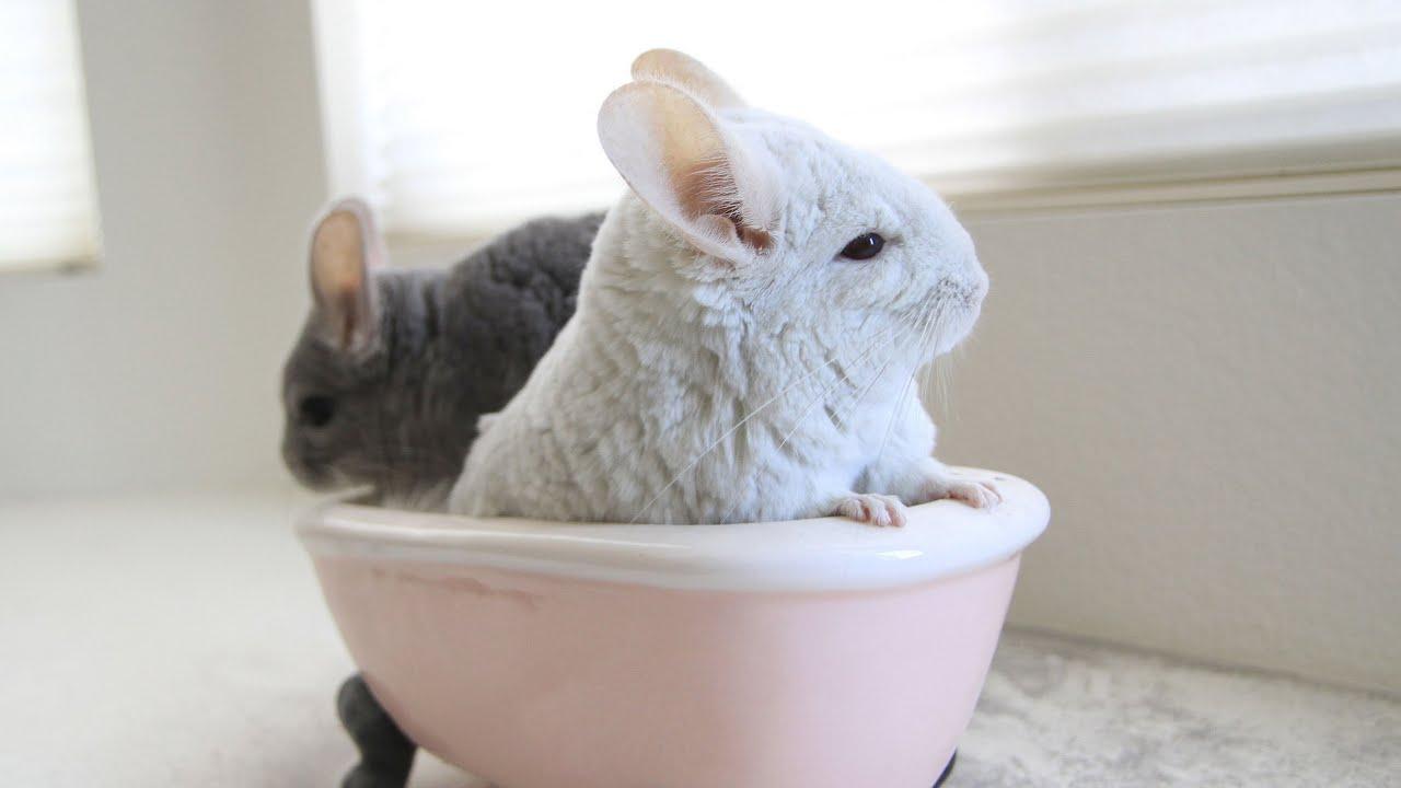 Chinchilla Dust Bath H...
