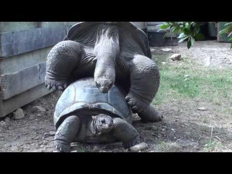 Accouplement tortues géantes des Seychelles (La vallée des tortues, Sorede, France)