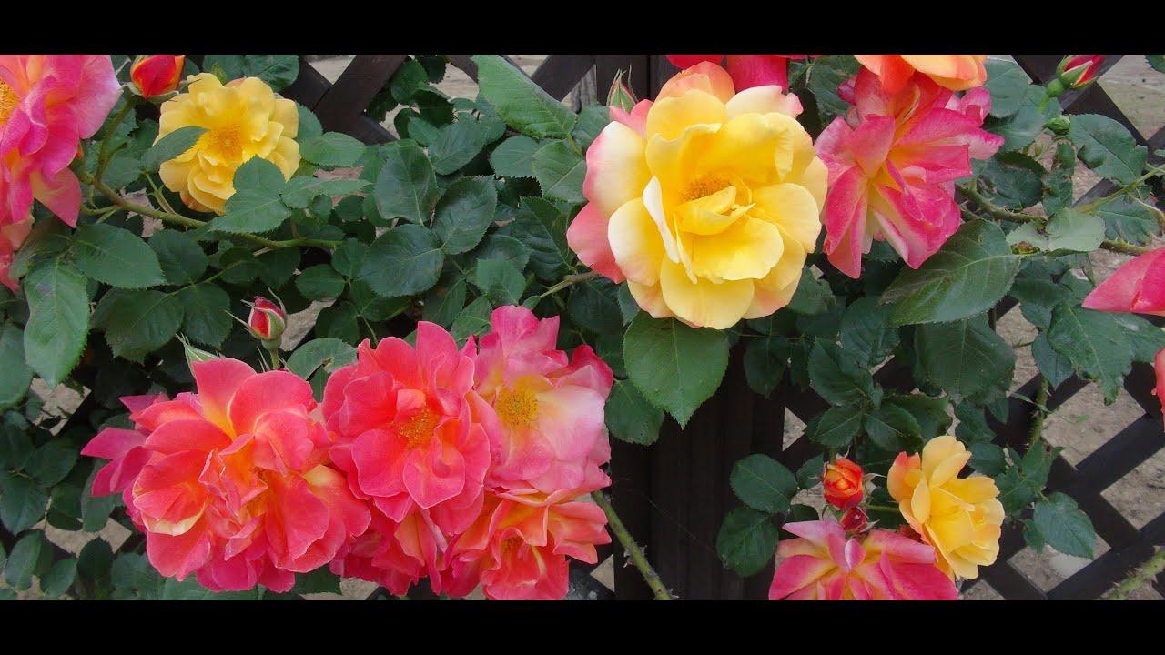 JAPÃO  Jardim de Rosas do Shikishima Park (Rose Garden)  YouTube
