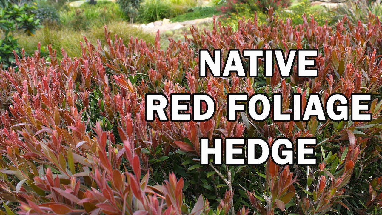 Red Alert Callistemon Is A Red Foliage Hedge Plant Youtube
