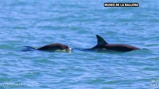 دلافين الفاكويتا المهددة بالانقراض تعاود الظهور في المكسيك
