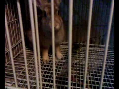 ternak kelinci di saudi