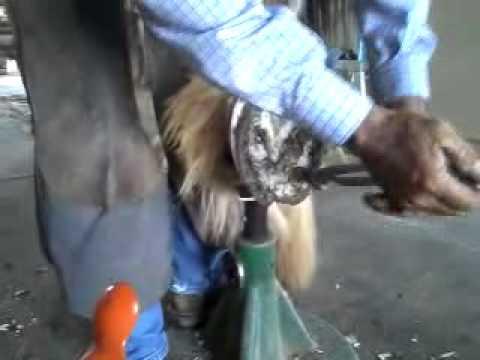 Draft horse hoof trim