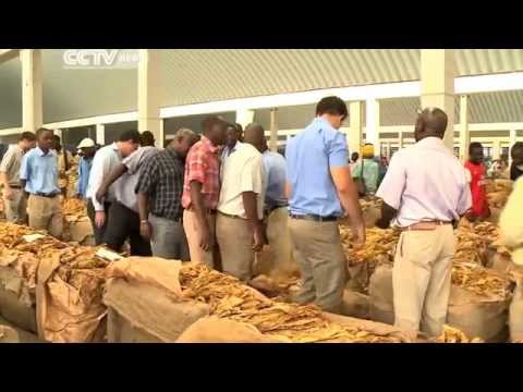 Zimbabwe Farmers Scramble for Tobacco Boom