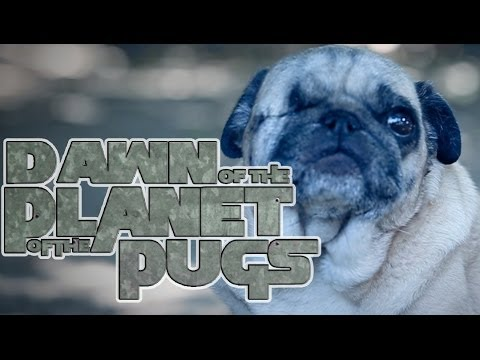 Dawn of the Planet of the Apes (Cute Pug Puppy Version)
