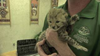 Baby cheetah cub to become part of Busch Gardens' Cheetah Run attraction