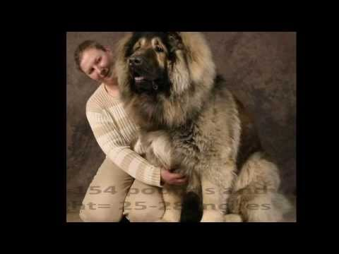 Top 10 Best and Biggest Guard Dogs in the World 2013, Top 10 Best and Biggest Guard Dogs in the World 2013