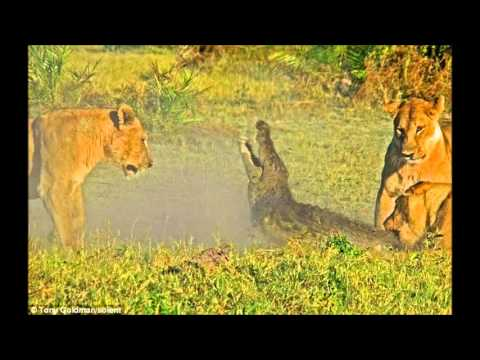 leon mata un cocodrilo---- Muuy bueno