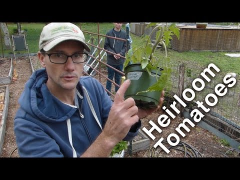 Gardening - Planting the Heirloom Tomatoes