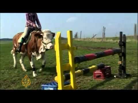 Insolite la vache qui se prend pour un cheval youtube - Coloriage cheval qui saute ...