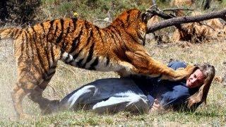 Tiger Attacks Man: Real Tiger Attack Stunt..