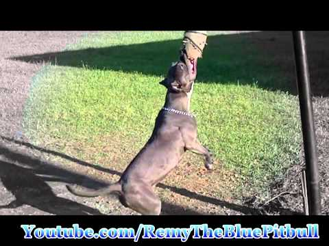 Athletic Blue Pitbull Daily Exercise Routine