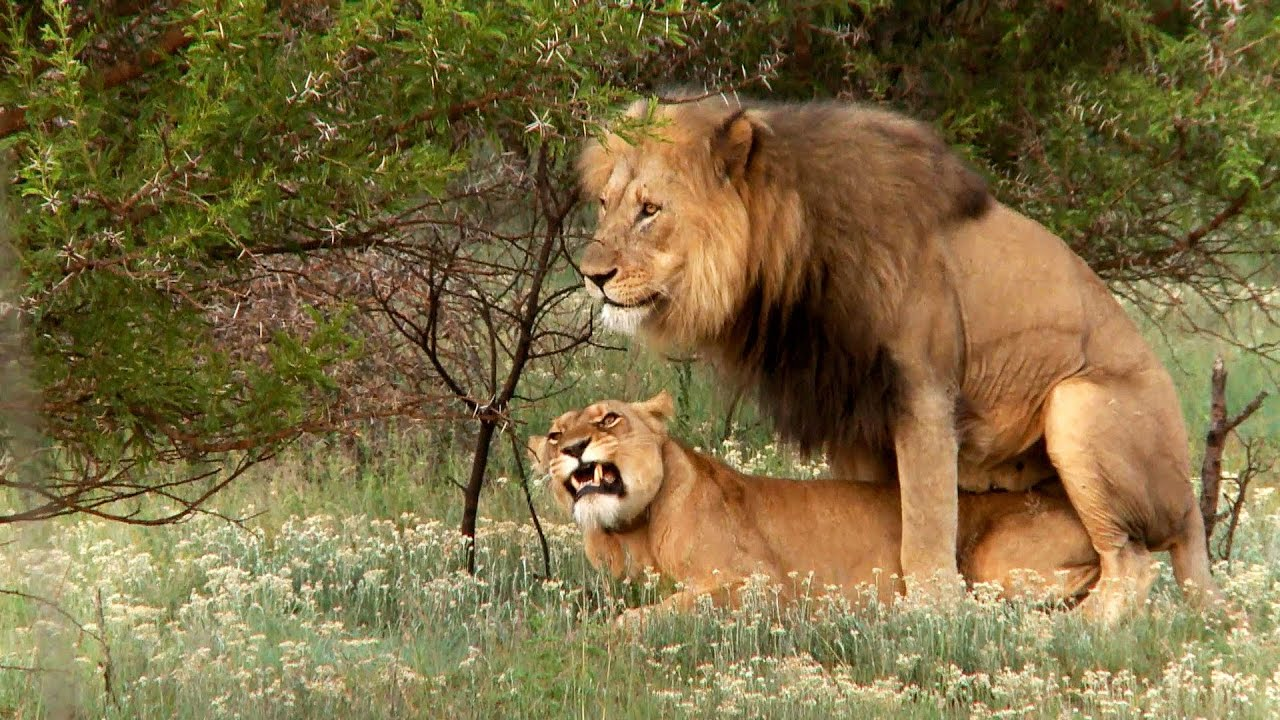 lion fuck